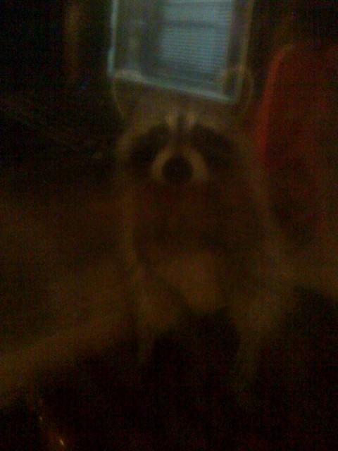 """Résultat de recherche d'images pour """"raccoon ghost"""""""