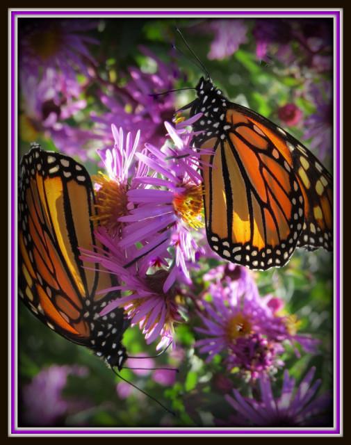 Monarch butterflies flying away - photo#19